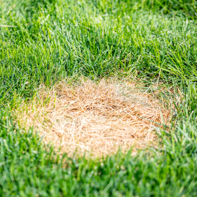 Another common spring lawn disease in North Carolina is dollar spot.