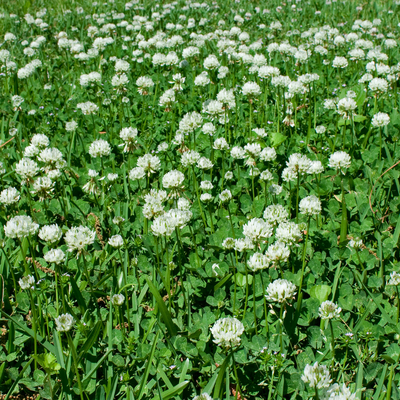 clover on lawn